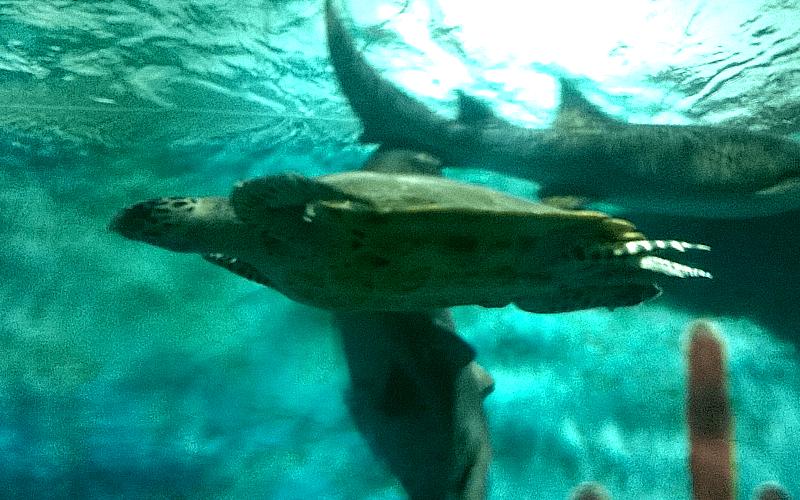 ヴィンパール水族館 ウミガメ