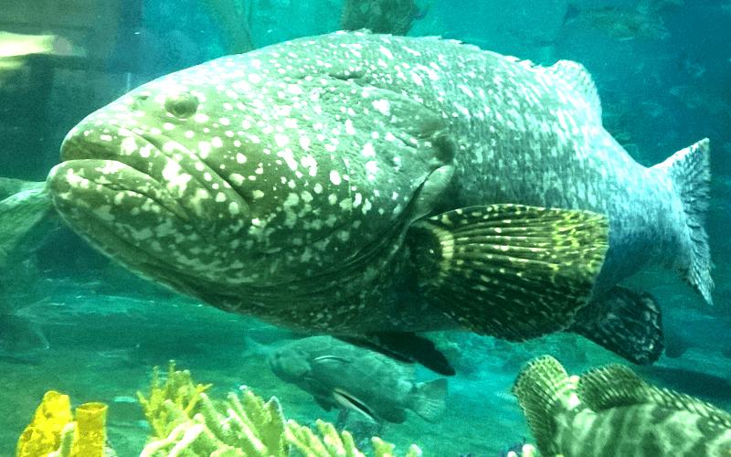 ハノイ水族館 巨大な魚