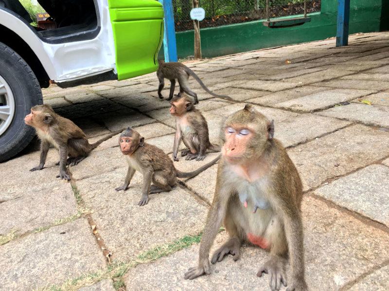集まる野生の猿